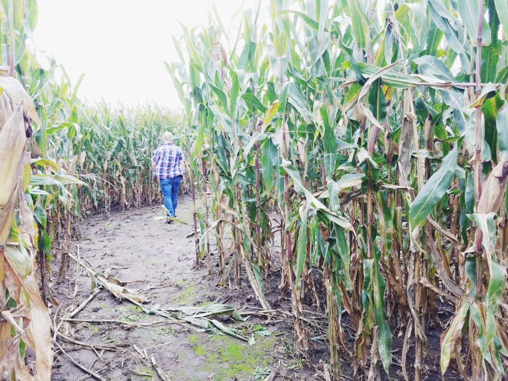 getting lost in a corn maze